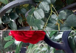 розы на кладбище1